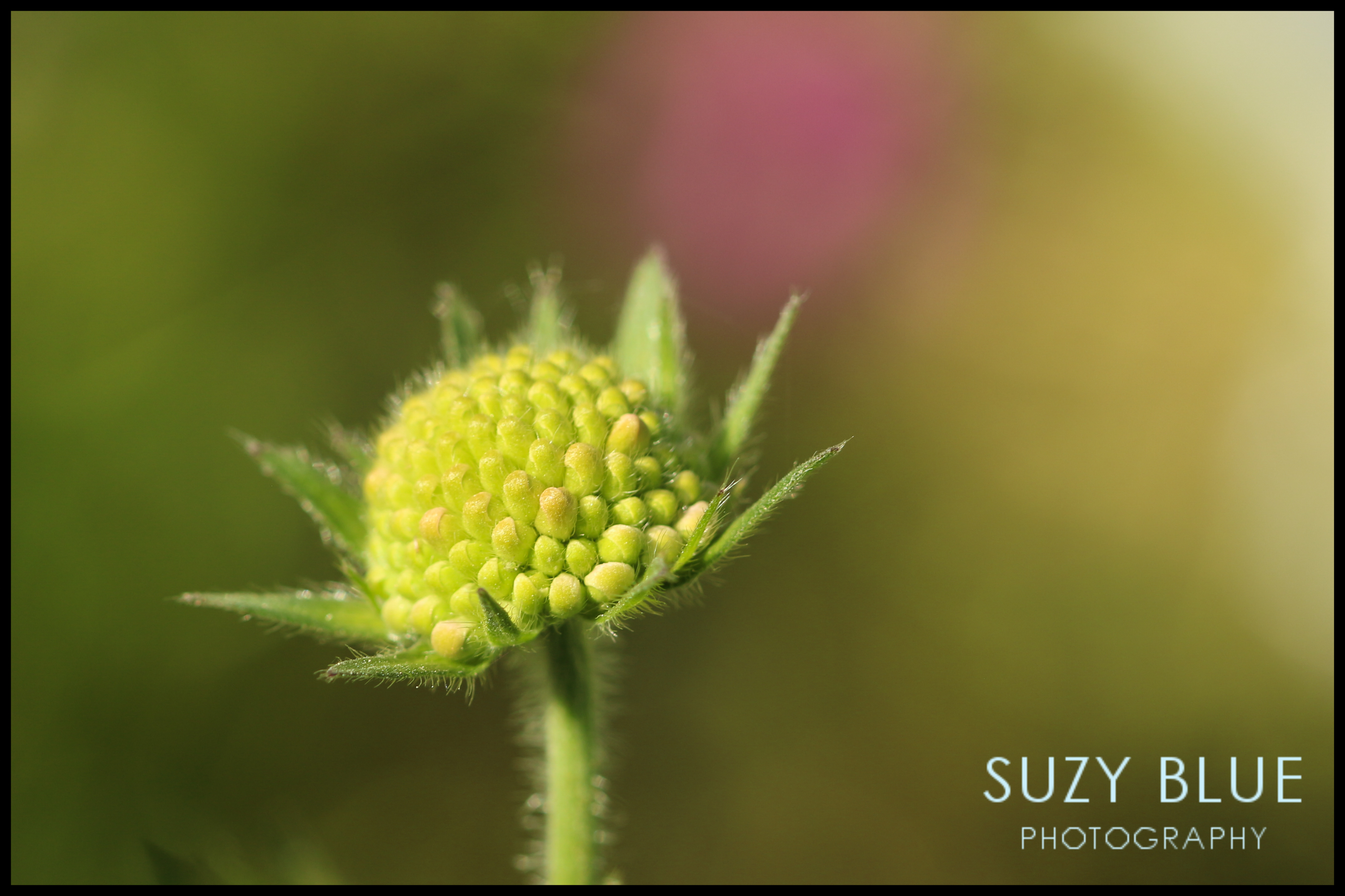 Scabious flower buds